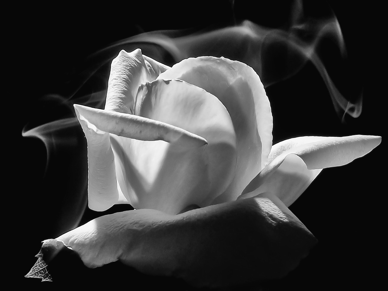 Smoky Rose Smoke Rose Flower  - Sonel / Pixabay