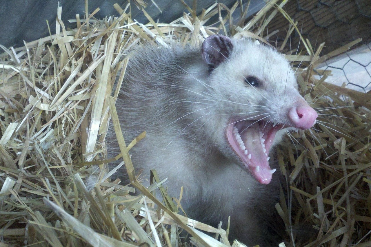 Opossum Possum Teeth Fur Animal  - royguisinger / Pixabay